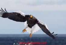 Eagle, Golden eagle, gable eagle, harpy eagle, eagle hunting, black eagle, haste eagle, sea eagle, flying eagle, Biggest eagle, eagle owl