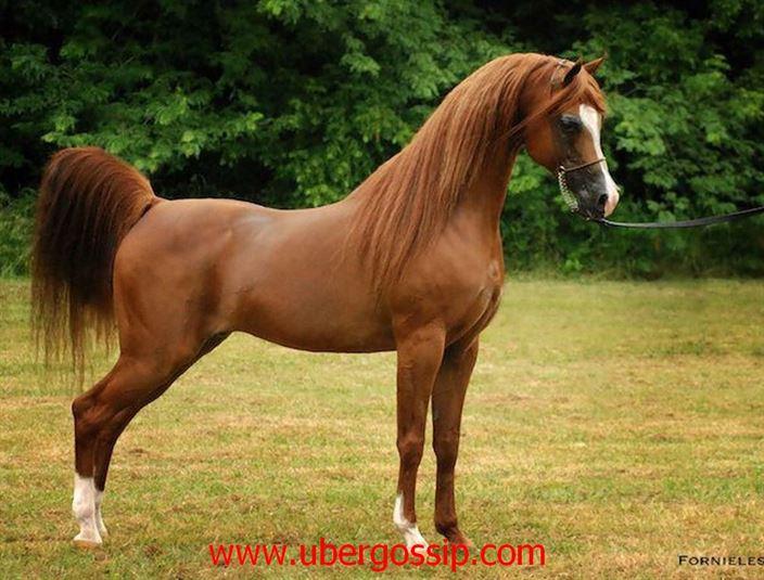 Horse, horse breeds, horse riding, Arabian horse, stallion, beautiful horses, Friesian horse, baby horse, pony horse, female horse, paint horse
