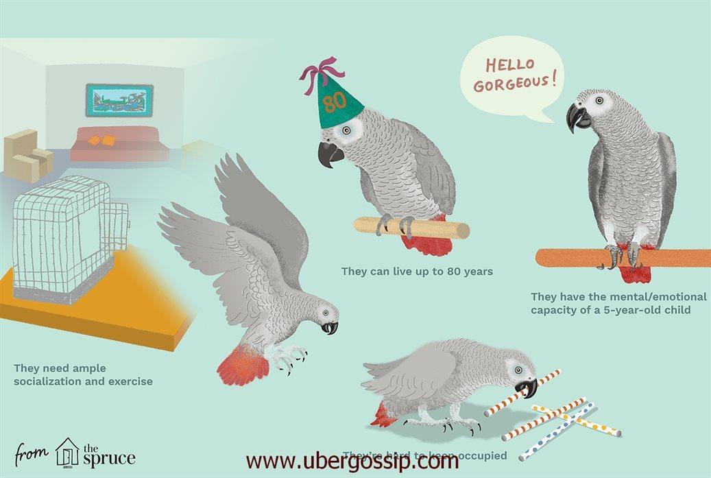 african grey parrot, gray parrot, african grey, african parrot, african grey parrot price, african gray parrot, african grey parrot for sale, grey parrot price, grey parrot for sale, timneh african grey