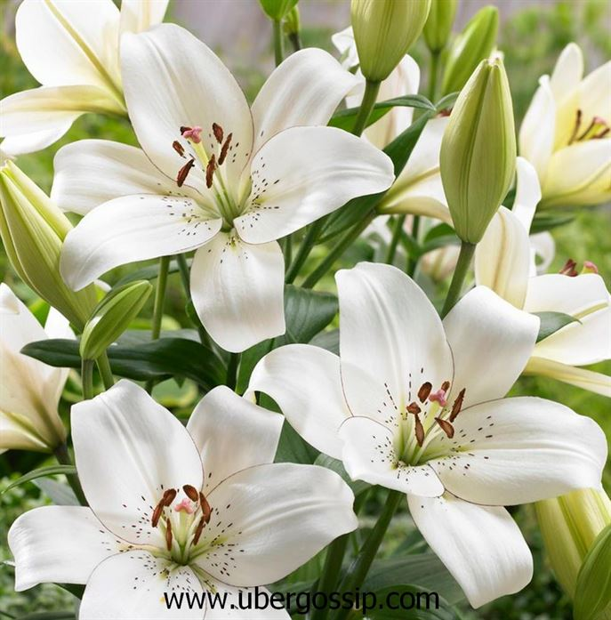lily flower, water lily, peace lily, lily of the valley, white lily flower, water lily flower, calla lily, tiger lily lily pad