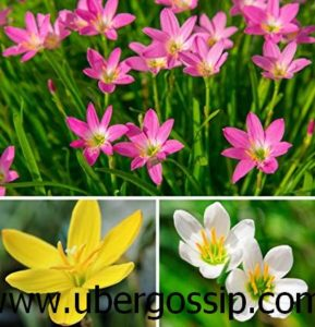 lily flower, water lily, peace lily, lily of the valley, white lily flower, water lily flower, calla lily, tiger lilylily pad, common lily, new lily,