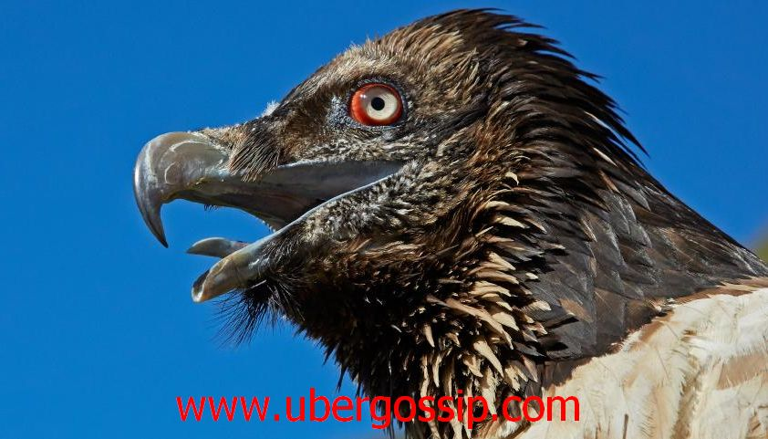 Vulture, vulture meaning, bearded vulture, griffon vulture, turkey vulture, egyptian vulture, black vulture, red headed vulture, ruppell's griffon vulture, gyps, cinereous vulture, white backed vulture